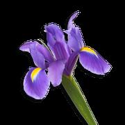 Iris flower sillo