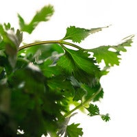 Beauty 20  20cilantro 0539 thumb