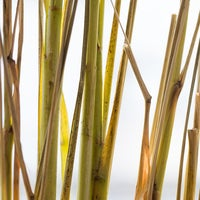 Beauty lemongrass 2841 thumb